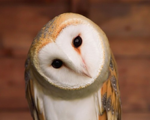 Requested: Barn owl. Unknown Photographer.   ]]>