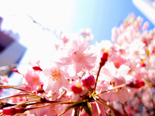 Sakura by gochie* on Flickr.