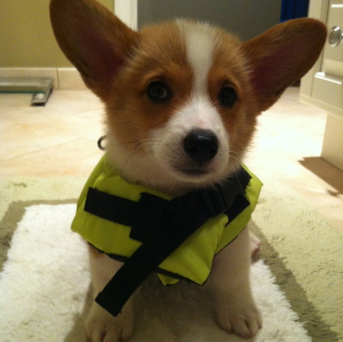 corgiaddict:  Ready to swim!  Can I have it?