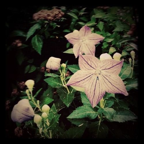 Night flowers #afterfocus #hipstamatic #instagram  (Taken with Instagram)