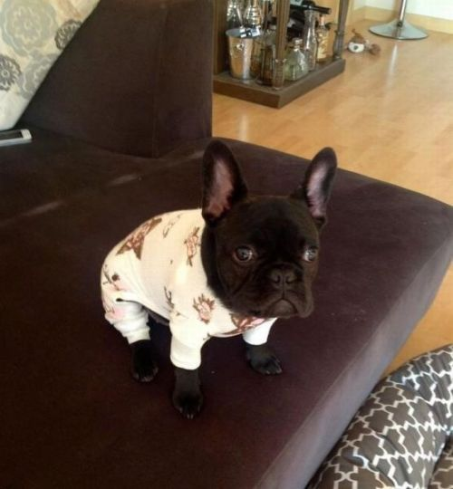 lostsouldesigns:  bbeeaarr:  nathansummers:  aplacetolovedogs:  Awww so adorable in p.j.'s  give me a kiss  i think i need a french bulldog as well as a husky and daschund now  Getting one.