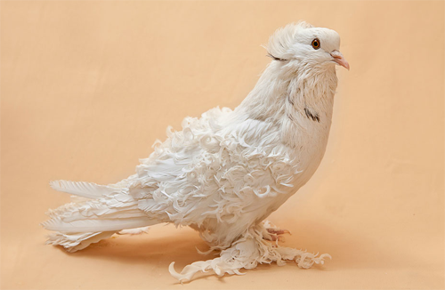 fat-birds:  Portraits of Egypt's Fancy Pigeons: Crested Frillback Pigeon.  PIGEON!!! <3 (I keep imagining the gijinka of this bird as having one of those stiff curly judge's wig)
