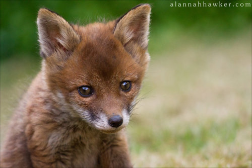 llbwwb:  Fox Cub 16 by *Alannah-Hawker.What a Cutie:)
