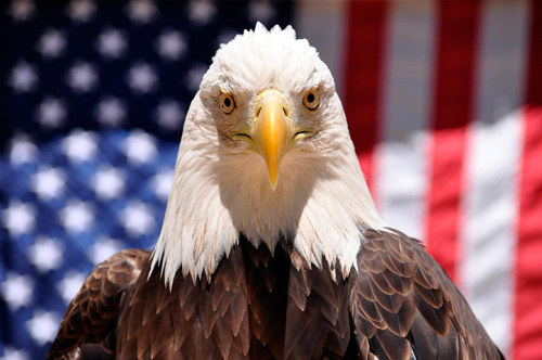 Denali, a 16-year-old California bald eagle, makes an appearance at Six Flags Discovery Kingdom in Vallejo, California.  Photograph: Reuters  Take a look at some of our best photos from Independence day here