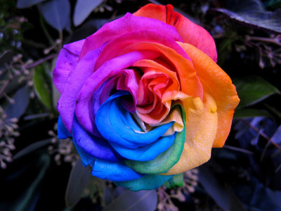 simplynorule:  Rainbow Rose (by becktress)