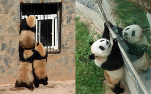 Giant pandas look through a window at the Yunnan Wild Animals Park. Three female giant pandas are to return home to the Wolong Panda Base in southwest China's Sichuan province after being moved four year ago following the huge earthquake.Picture: Quirky China News / Rex Features