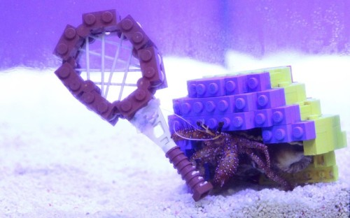 tumblr m6ovhpYYte1qzya49o1 500 Harry the hermit crab holds a miniature Lego tennis racquet in...