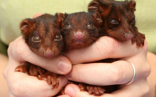Orphaned ring-tailed possum triplets are looked after by the RSPCA in Brisbane, Australia, after their mother diedPicture: Newspix / Rex Features