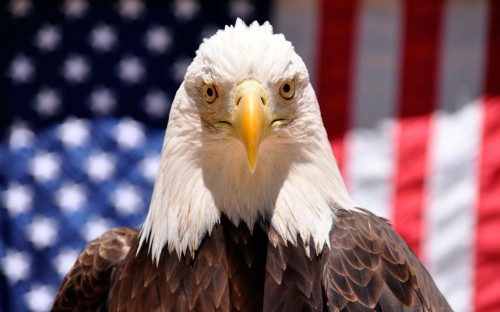 Denali, a 16-year-old bald eagle, is seen at Six Flags Discovery Kingdom in Vallejo, CaliforniaPicture: REUTERS/Nancy Chan/Six Flags Discovery Kingdom