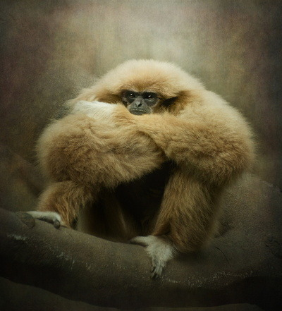 samaralex:  Study of a Gibbon - The Thinker by Polly470