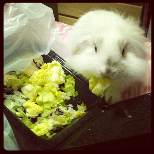 dailybunny:  Oh No! The Salad Thief Is Back! Thanks, shann-dawg!