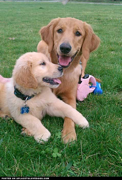 aplacetolovedogs:  Submitted by Kim B: Our two goldens at the park