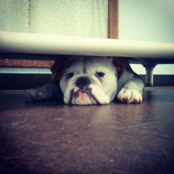 smashlee-simpson:  Bertie trying to stay cool under the cot #englishbulldog  (Taken with Instagram)