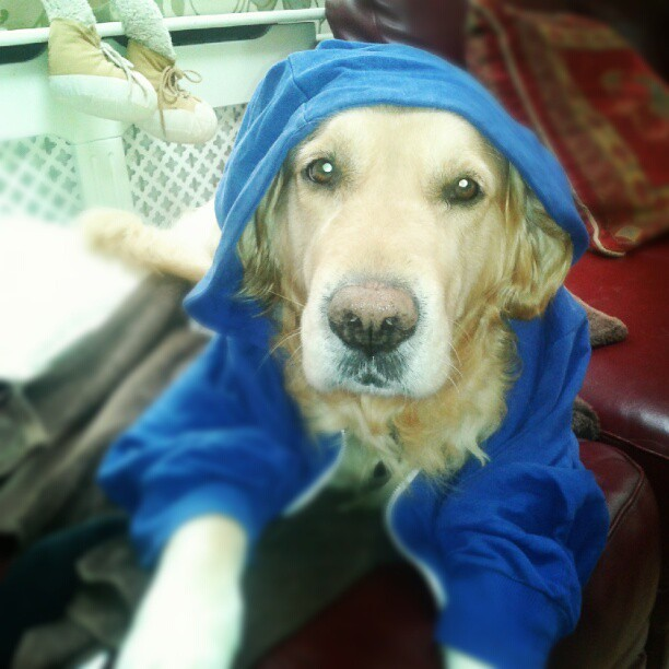 Buddy can't wear people clothes #crazydog (Taken with Instagram)