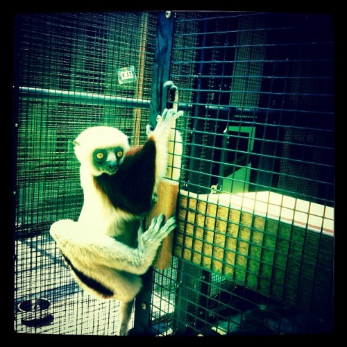 lemurs, north carolina  (Taken with Instagram at Duke Lemur Center)