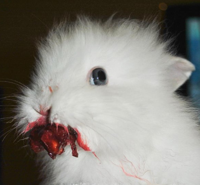Rabbit Eating a Cherry Looks Horrifying He's got huge sharp… he can leap about… Look at the bones!