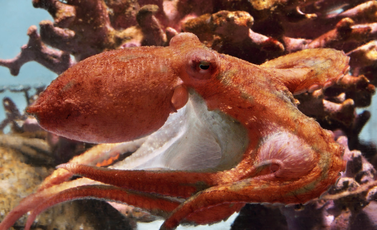 montereybayaquarium:  Remember the runaway red octopus that hid in our Shale Reef exhibit for a year before getting caught wandering across the Aquarium in the middle of the night? After a brief period behind the scenes, the celebrity cephalopod is now on exhibit in our upstairs Kelp Zone!  Get the whole story.