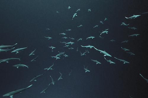 Blacknose Sharks. (AleksBartnickaPhotography)