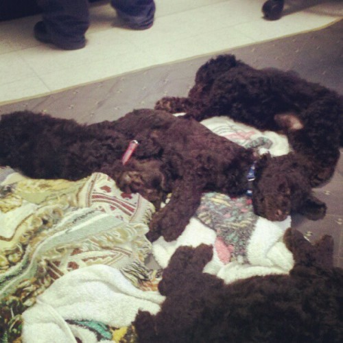 We have poodle puppies visiting our class :) (Taken with Instagram)