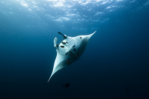 fyeah-seacreatures:  Pacific Manta. (AleksBartnickaPhotography)