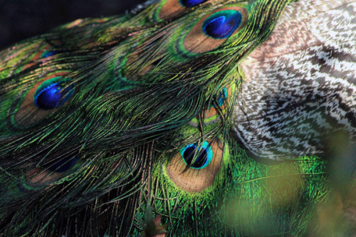 vivid-hue:  Peacock by vivid-hue This is my own photography.