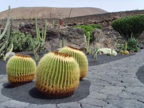 Bedtime Cactus - Giant Exercise ball sized Cactus, you wouldn't want to bounce on these though! Jardin de Cactus, Lanzarote 2011