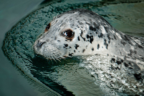Harbor Seal. (panafoot)