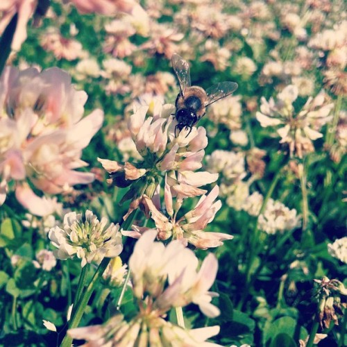 Mr. Bee is chillin' with me #summer #outside #clover #sun #bee (Taken with Instagram at Richmond Elementary School)
