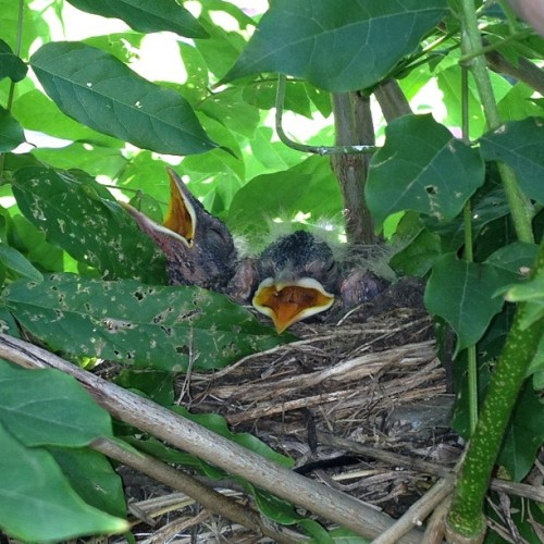 Baby Robins in my wisteria (Taken with Instagram)