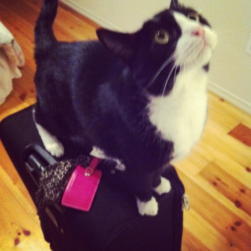 and he is already starting to get #wild! he loves some damn suitcases #mötley #catsofinstagram #crazycat  #packing  (Taken with Instagram)