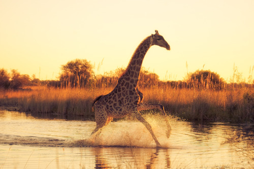the-absolute-best-photography:  llbwwb:Running On Water by Mario Moreno Hey Guys,we need more Animals! Submit your Animal shots and Cute pets today! They don't need to have 1000 Notes either:) You have to follow this blog, it's really awesome!