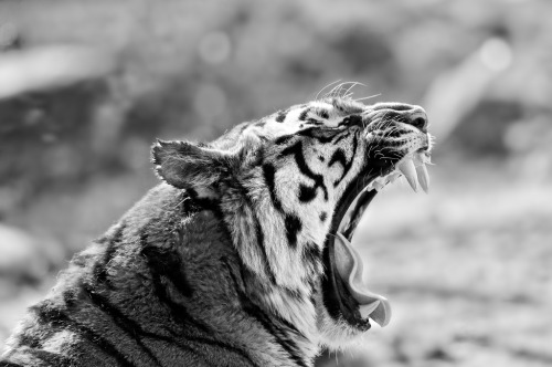 black-and-white:  Zoo Amnéville-2011-033 (by mfld57)