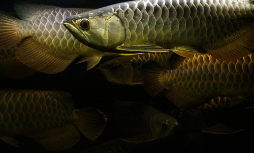 ichthyologist:  Arowana (Scleropages sp.) Arowanas are popular, especially in Asian areas, for their resemblance to the Chinese dragon. These freshwater fish are notorious for the high prices they fetch - 'perfect' specimens can sell for many thousands of dollars. Norman Tsai on Flickr