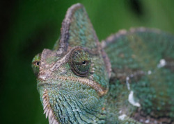 Chameleon green eye by @Doug88888 on Flickr.