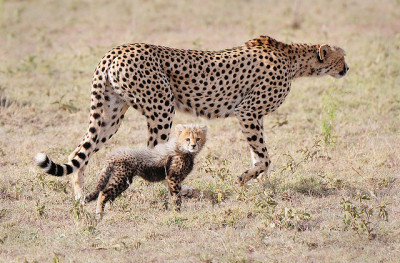 worldlyanimals:  Cheetah and Cub (jimmyedmonds)