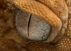 gecko eyes by www.stonemeadow.com.au on Flickr.