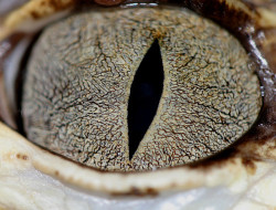 American Alligator (A. mississippiensis), sub-adult female, eye by Arboreal Boids on Flickr.