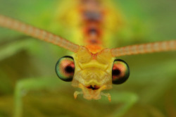 cross-eyed   lacewing by FISHNROBO on Flickr.