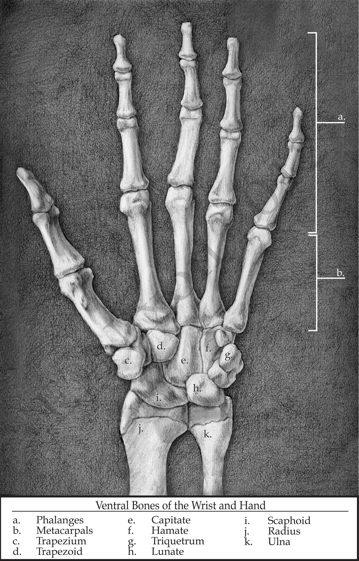 cryptobranchus:  Ventral Skeleton of the Hand