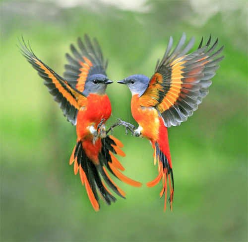magicalnaturetour:  紅椒驅映 - Gray-chinned Minivet (Pericrocotus solaris), DaSyueShan Trail, Taichung County, TAIWAN (photo: John&Fish | Flickr)
