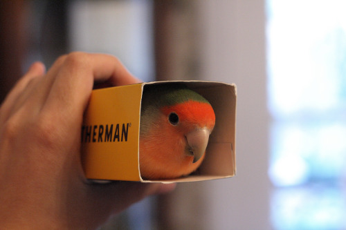 fat-birds:  kuromidou:  Peek-a-boo (by Tooi Ake)  here, have a bird in a box. you're welcome.