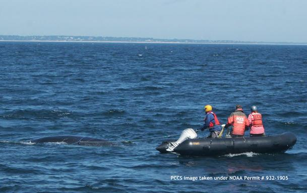 Rescuers free humpback whale off the coast of Chatham  Rescuers freed a young humpback whale heavily entangled by fishing line about five miles off Chatham early Thursday morning, marine animal rescuers said today. (Provincetown Center for Coastal Studies)