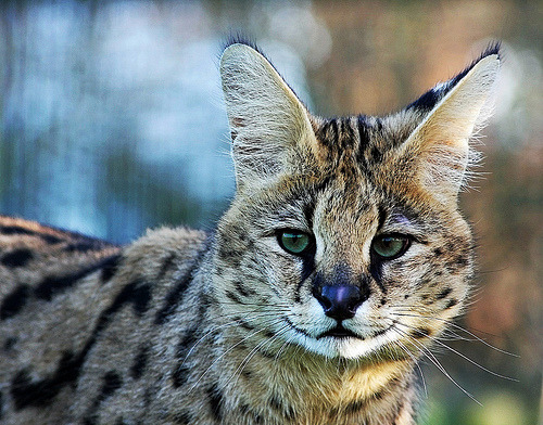 funkysafari:  Serval by Brett Terry