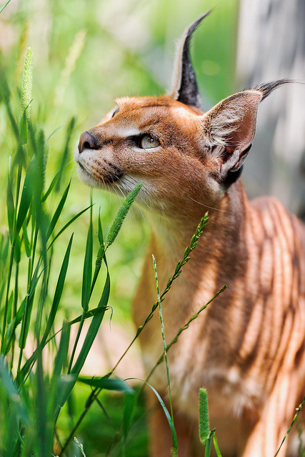 worldlyanimals:  Caracal (Tambako the Jaguar)