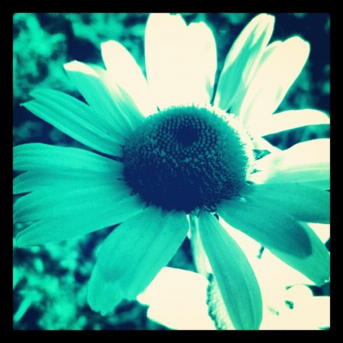 The Simplicity of Life. #life #daisy #teal #aqua #blue #beautiful #simple #instagood #instalife #doubletap #followme 💚😊☀🌸🌺🌻🆒💟💙 (Taken with Instagram)
