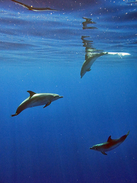 worldlyanimals:  Beautiful Swimming Dolphins (Mr.Enjoy)