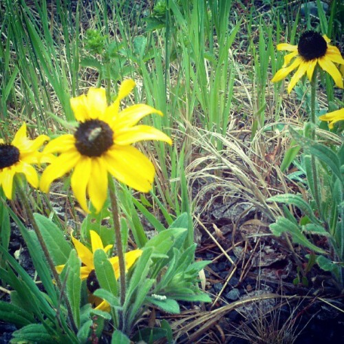 Baby sunflowers  (Taken with Instagram)