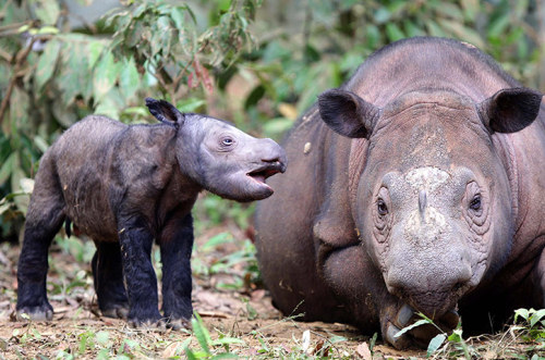 theanimalblog:  A male baby Sumatran rhinoceros stands beside his mother, Ratu aka Queen at Way Kambas national park in Lampung, Indonesia.  Photograph: HADI WIJOYO/EPA