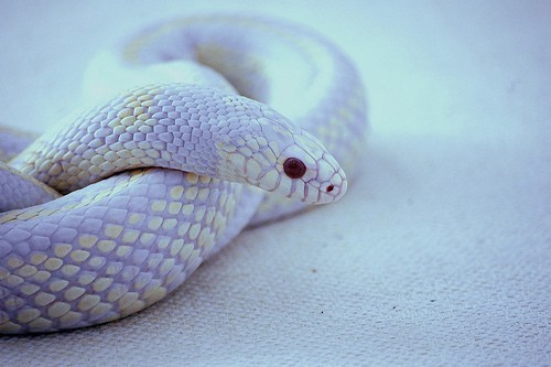 worldlyanimals:  Not quite sure what kind of snake this is, or if its coloring is real or edited. If there are any snake experts following me, let me know if there is actually a snake with these colors. I tried Google, but couldn't find anything. (awwwmagawd)