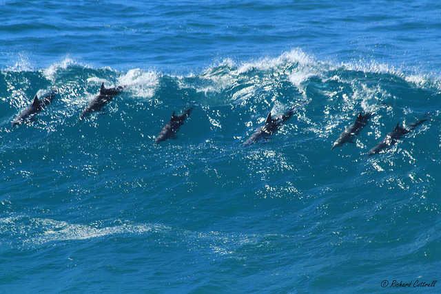 the-camera-trap:  Bottlenose dolphin pod (Tursiops sp.) on Flickr. Witnessed this pod surfing in the waves from Point lookout, North Stradbroke Island, Queensland.